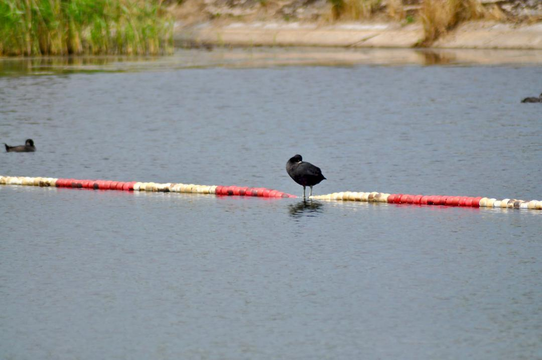 Vogel im Wasser.Bird in the water.#Kaltehofe #elbinsel #elbe #vogel #bird #wasser #water